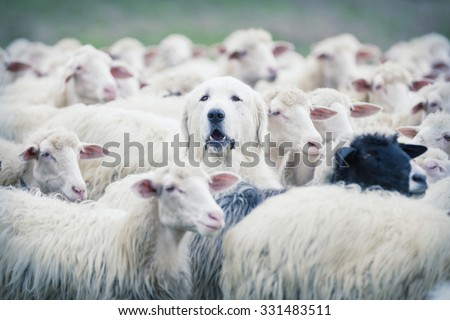 A shepherd dog popping his head up from a sheep flock. Disguise, uniqueness and/or lost in the crowd concept - stock photo