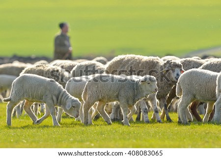 A shepherd is leading his flock on field - stock photo