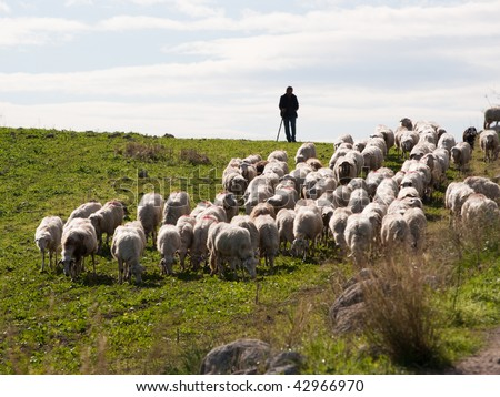 A shepherd is leading his flock to pasture