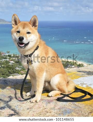 A Shiba Inu puppy in Kailua, Oahu, Hawaii. - stock photo
