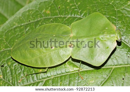 A Shield Mantis, Hood Mantis (or Hooded Mantis), or Leaf Mantis (or Leafy Mantis) in the Peruvian Amazon
