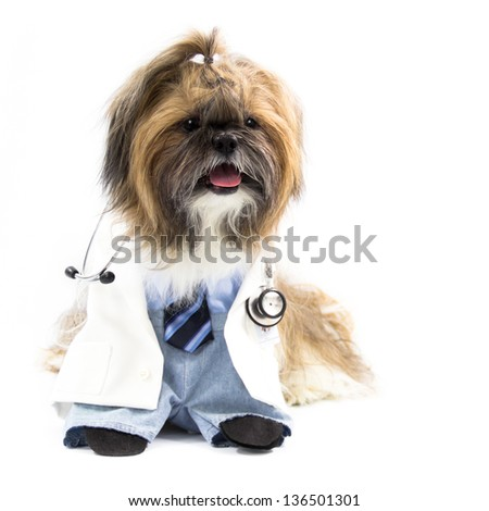 A Shih Tzu dog, dressed as a doctor, wears a stethoscope.