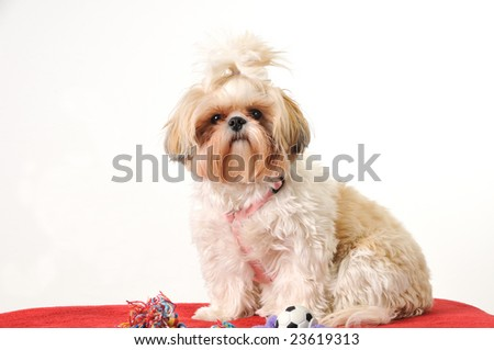 A Shih Tzu puppy sitting for a portrait with her toys. - stock photo