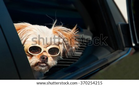 A Shih-Tzu Yorkie peers out of a car's window. - stock photo