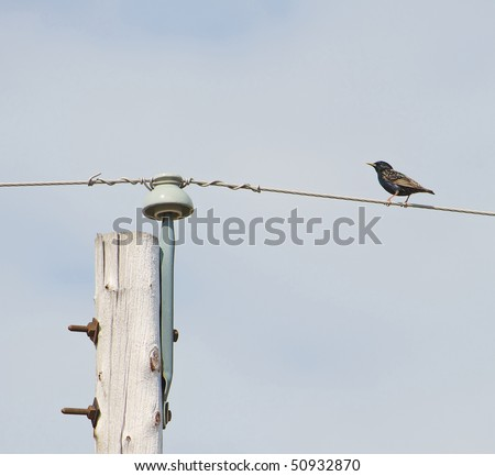 A shimmering European Starling perches on a hydro wire beside a hydro pole. - stock photo