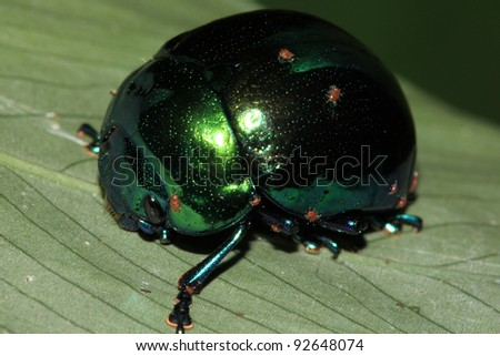 A Shiny Beetle with small Red Parasites in the Peruvian Amazon - stock photo