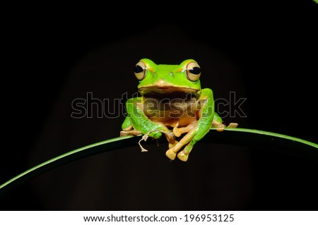 A shiny green tree frog sits on a leaf in the darkness. - stock photo