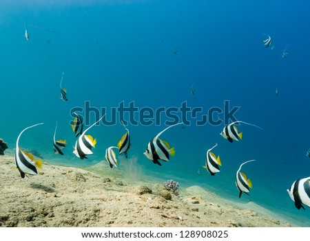 A shoal of bannerfish over sand on a tropical coral reef - stock photo