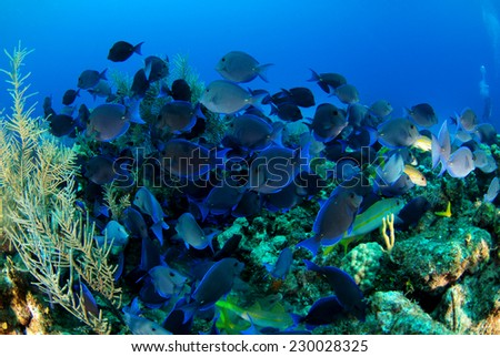 A shoal of Blue tangs over the reef, Grand Cayman - stock photo