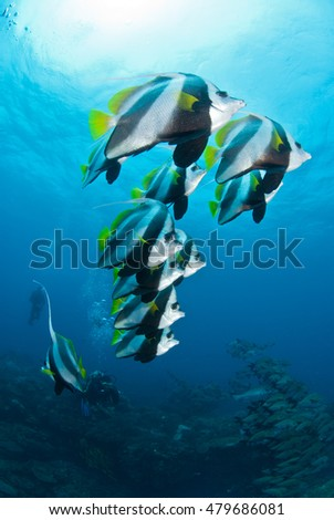 A shoal of longfin bannerfish in clear blue water with a sun burst above them