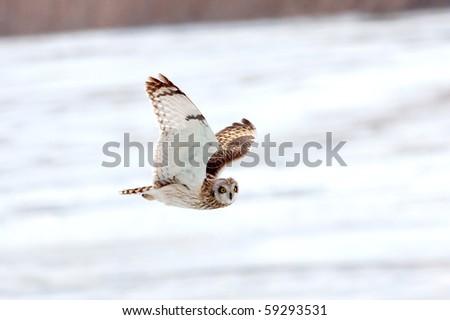 a short-eared owl in flight (Asio flammeus) - stock photo