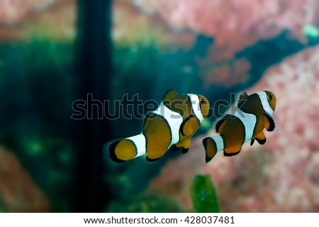 A shot of a beautiful common clownfish looking itself in the mirror - stock photo