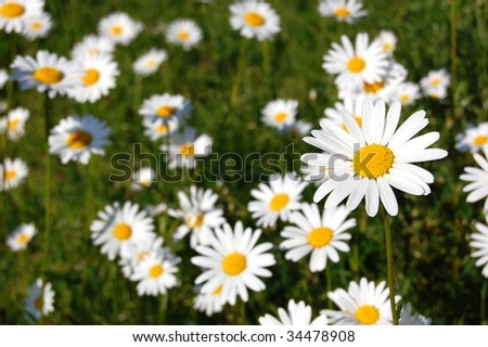 a shot of a beautiful field of daisies