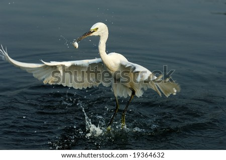 A shot of a Great Egret in the wild - stock photo