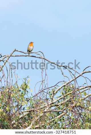 A shot of a robin red breast sitting in a tree. - stock photo