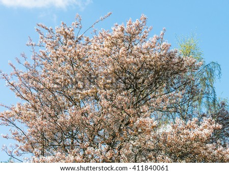 A shot of an amelanchier tree with its springrime blossom.