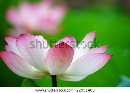A shot of blooming lotus flower showing its purity - stock photo