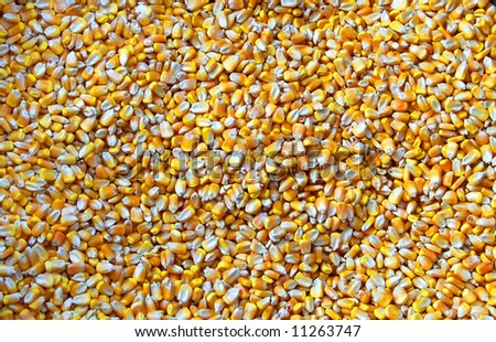 A shot of grains of dried corn. - stock photo