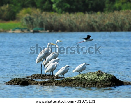 A shot of  Great Egrets in the wild(See more birds backgrounds in my portfolio). - stock photo