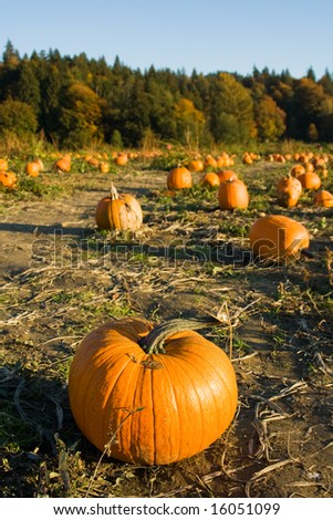 A shot of pumpkins on the farm