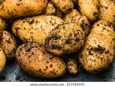 A shot of some freshly dug charlotte potatoes. - stock photo