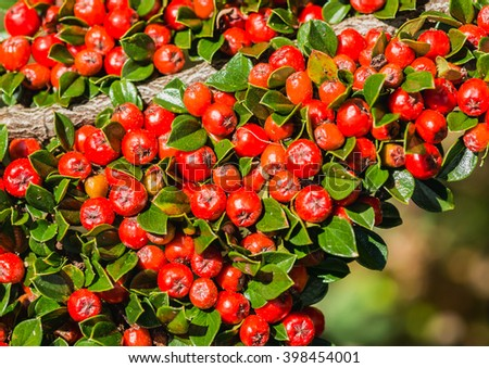 A shot of the red berries of a cotoneaster bush.
