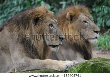 A shot of wild lions in captivity - stock photo