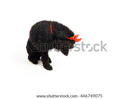 A shy black poodle with a funny red headband closing its muzzle with its paw - stock photo