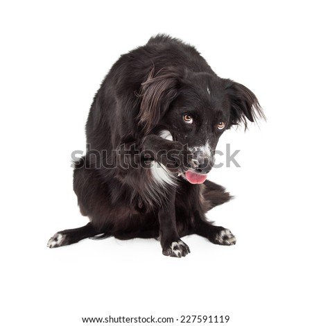 A shy Border Collie Mix Breed Dog cowering and extending its paw for a friendly shake.  - stock photo