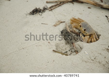 A shy ghost crab guarding his hole.