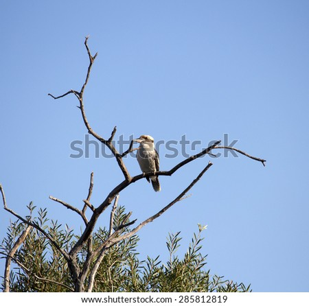 A  shy juvenile   Kookaburra (genus Dacelo) or Laughing Jackass   terrestrial tree kingfisher native to Australia  perched on a  dead gum tree branch   enjoys the early  afternoon winter sunshine. - stock photo