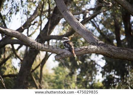 A  shy  Kookaburra (genus Dacelo) or Laughing Jackass   terrestrial tree kingfisher native to Australia  perched on a eucalypt gum tree branch   enjoys the late  afternoon winter sunshine.