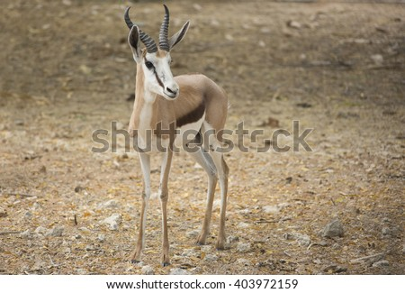 A shy Thomson Gazelle (Eudorcas thomsonii) on an arid background looking at the camera