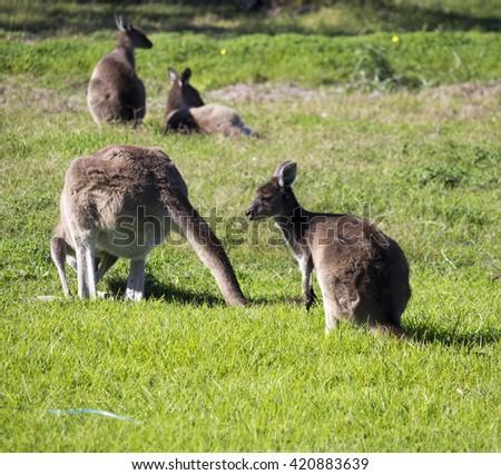 A shy Western grey kangaroo jill  (Macropus fuliginosus) black-faced, or sooty kangaroo with joey  grazing in a  paddock of green  grass near Australind, Western Australia on a sunny autumn morning  . - stock photo