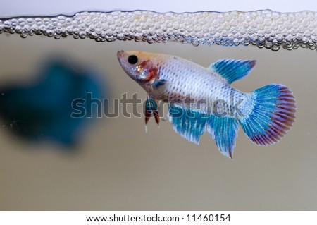 A siamese female fighting fish guarding her newly laid eggs amongst the bubble nest.  Her fins were battered by the male (at background) during egg laying process, it is common for the betta splenden. - stock photo