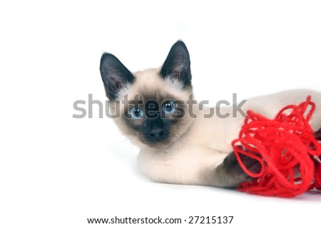 A siamese kitten plays with a red ball of yarn on a white background