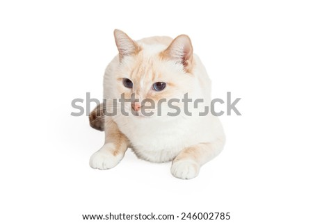 A Siamese Mix Breed Cat laying while looking off to the side.  - stock photo