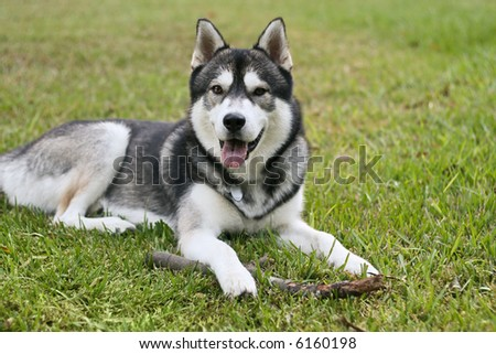 a Siberian Husky shows his dirty tongue while taking a break from chewing on his fetch stick - stock photo