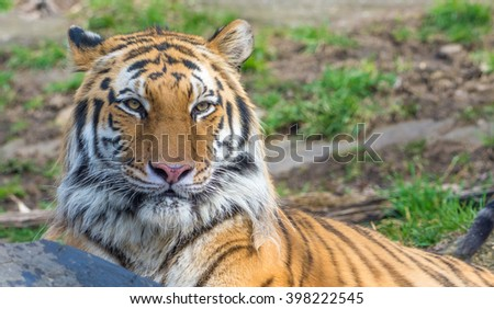 A Siberian tiger (Amur tiger) posing for the camera - stock photo