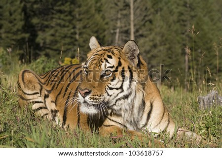 A Siberian Tiger Close Up & Personal