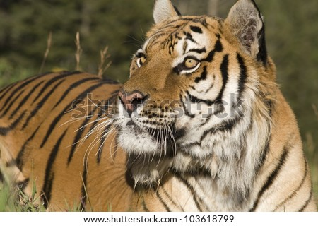 A Siberian Tiger Close Up & Personal - stock photo