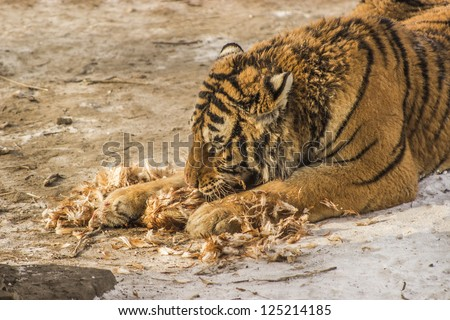 A Siberian tiger eating a chicken at the Siberian Tiger Reserve in Harbin China - stock photo