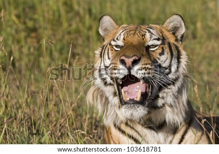 A Siberian Tiger Resting in Tall Grass - stock photo
