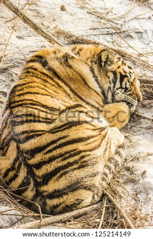 A Siberian Tiger sleeping on the snow at the Siberian Tiger Reserve in Harbin China - stock photo