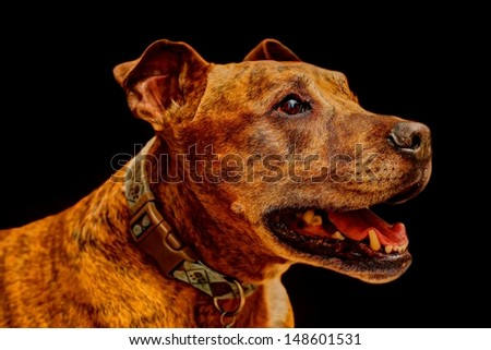 A side portrait photo of a brown pit bull isolated on a flat black background. - stock photo