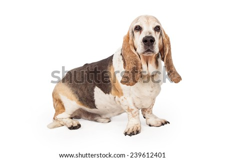 A side view of a Basset Hound sitting looking forward and into the camera