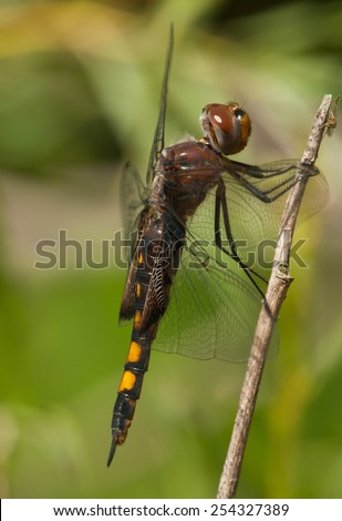A side view of a Black Saddlebags dragonfly resting momentarily on a twig during its autumn migration along  the Lake Michigan shoreline in Wisconsin. - stock photo