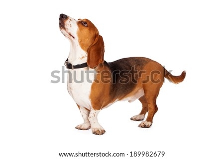 A side view of a fit and healthy Basset Hound dog standing and looking up at an off-camera treat - stock photo