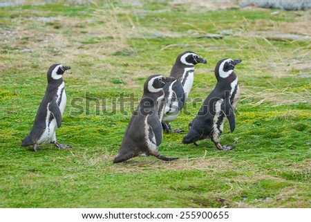 A side view of four magellanic penguin walking in a meadow in Punta Arenas, Chile. - stock photo