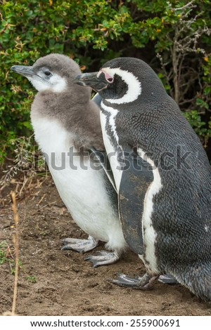 A side view of youngling and adult magellanic penguins standing on the ground in Punta Arenas, Chile. - stock photo